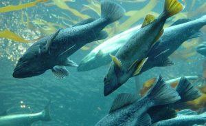 Рыба Дальнего Востока