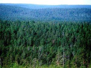 Хвойная тайга Западной Сибири