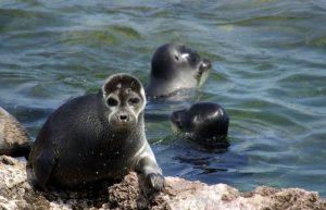 Байкальский тюлень