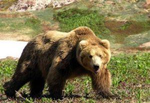 Катунский заповедник бурый медведь