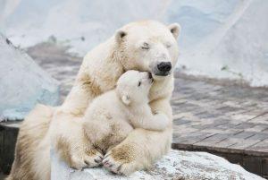 Новосибирск зоопарк животные белый медведь
