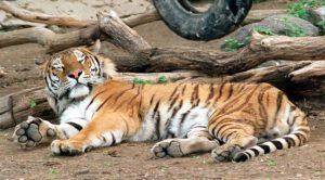 Новосибирск зоопарк тигр